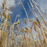 Wheat picture